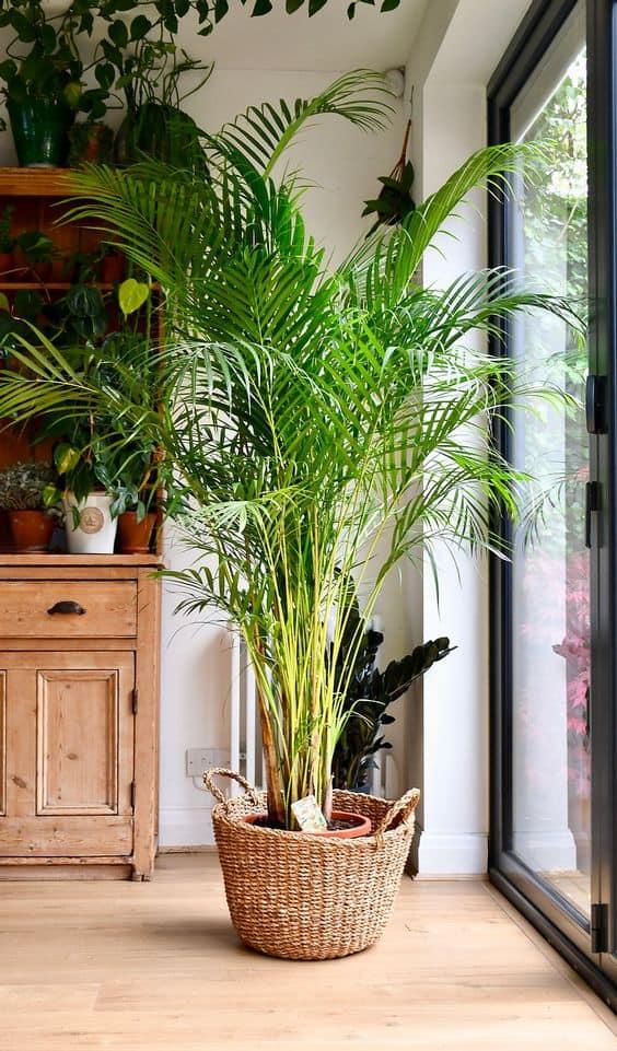 areca palm indoor plant