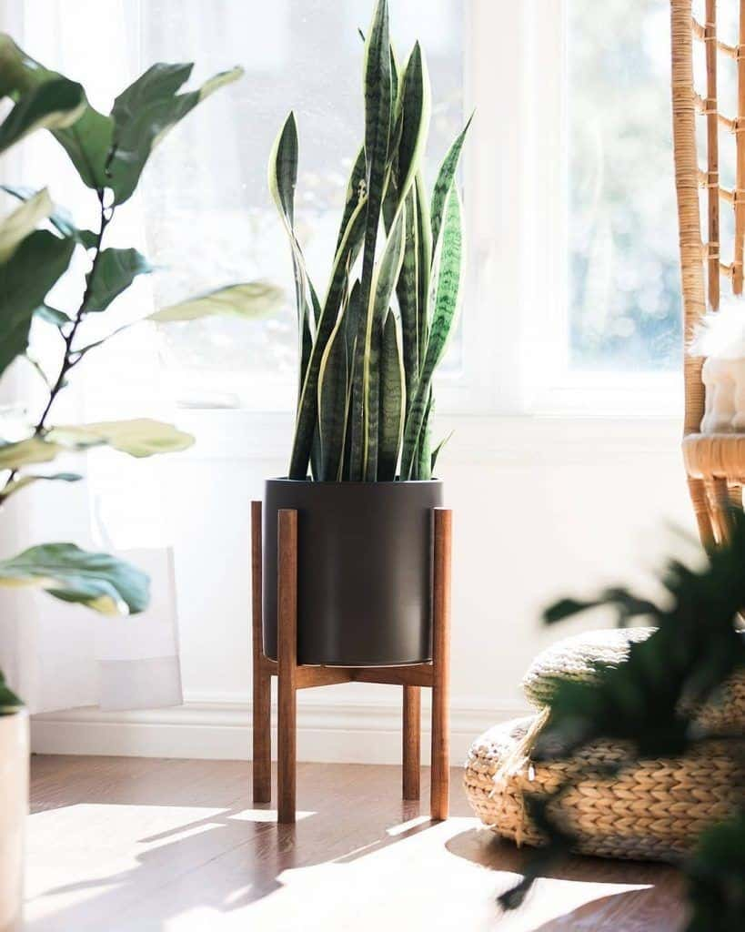 snake plant for indoors