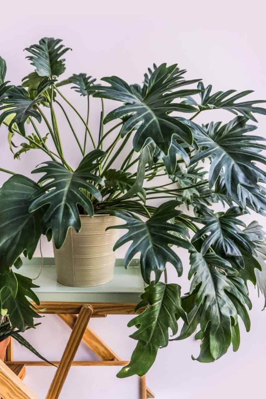Philodendron indoor plant