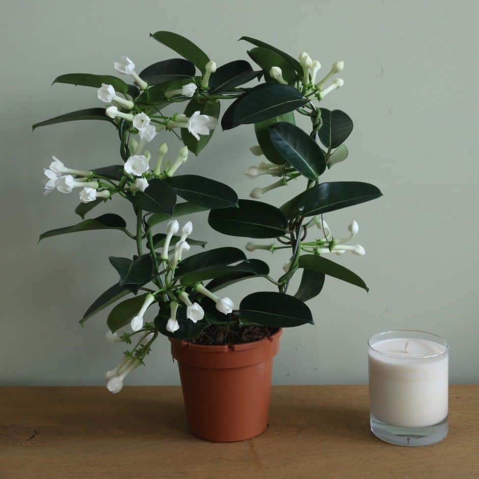 Madagascar jasmine indoor plant