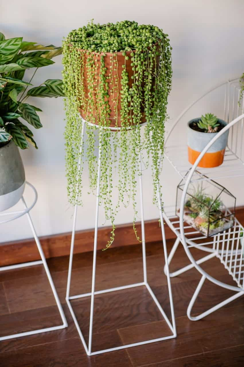 String of pearls as indoor plant