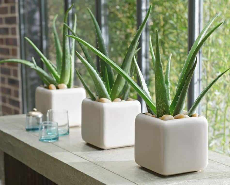 aloe vera plant for indoors