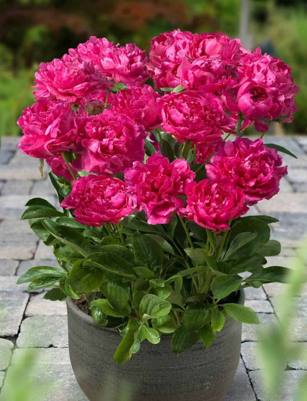 peony plant with bright pink flowers