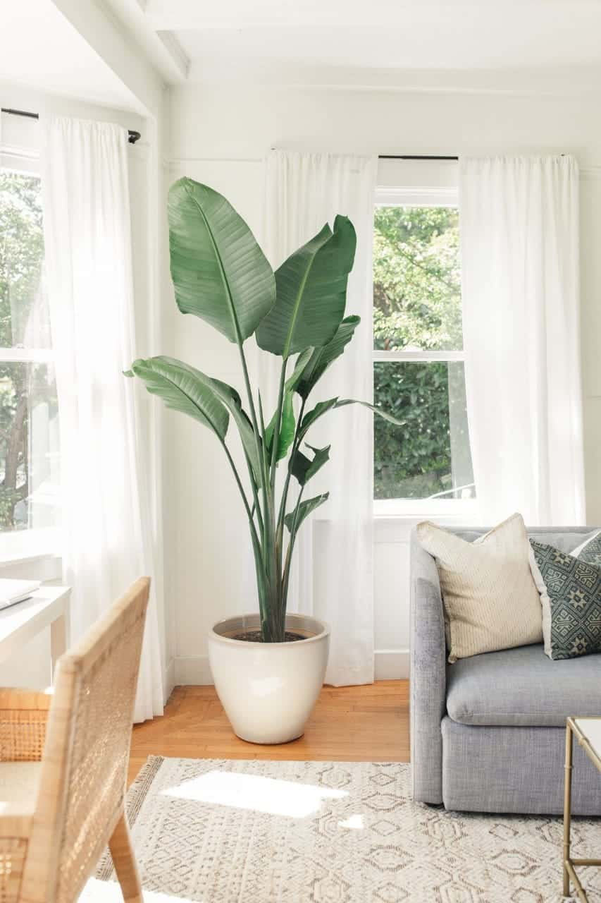 banana plant for indoors