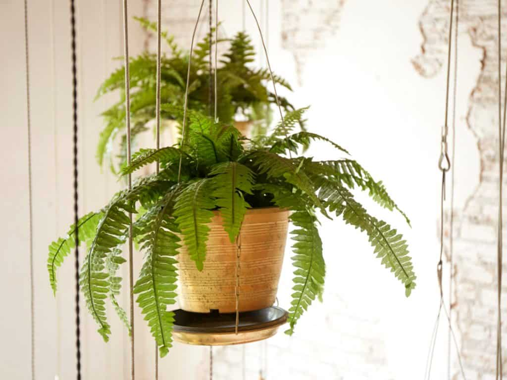 boston fern in hanging planters
